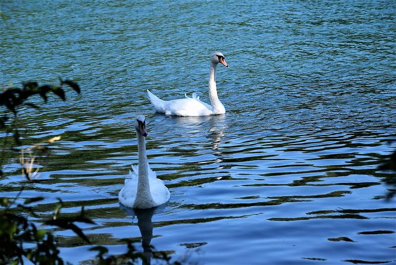Swans 26 (1)