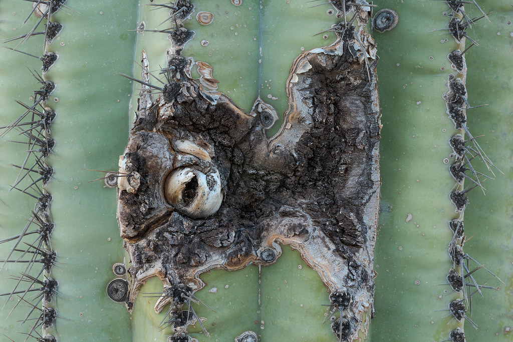 A damaged area of a saguaro has a structure resembling an eye