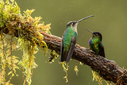 Talamanca Hummingbird ♀ and  Fiery-throated Hummingbird