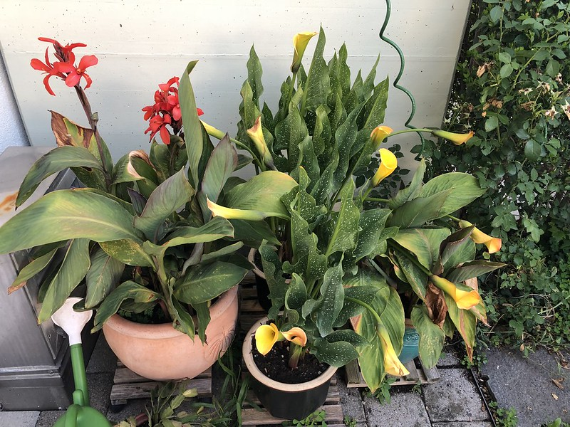 Canna and Calla