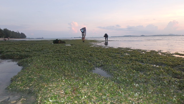 Lush meadows of Spoon seagrass (Halophila ovalis) at Changi