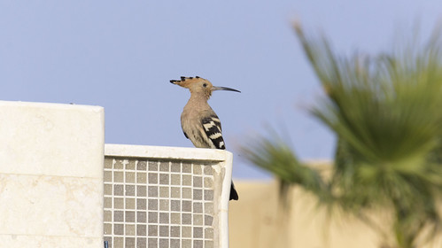 A hoopoe in Egypt's Fayoum | by Kodak Agfa
