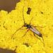 Black-striped Longhorn Beetle - Stenurella melanura