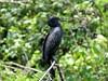 Indian Cormorant (Phalacrocorax fuscicollis)