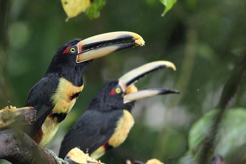 pteroglossuserythropygius palemandibledaracari araçari nature naturaleza birds aves pájaros passaros toucan tucán