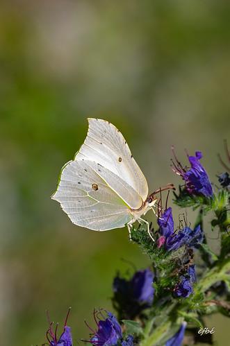 Citron ♀ - Gonepteryx rhamni -