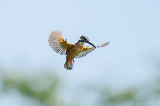 20180715-kingfisher-DSC_6726
