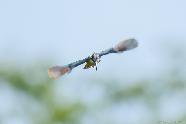20180715-kingfisher-DSC_6736