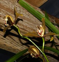 Cymbidium schroederi Rolfe species orchid 4-18