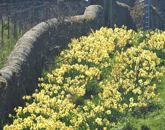A Host of Golden Daffodils - Cresswell Farm Track