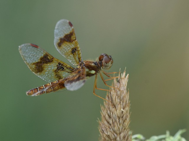 Dragonfly - amberwing, female