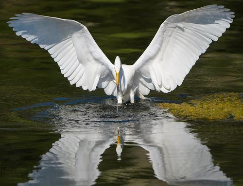 Great Egret 7_10
