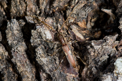 coleoptera cerambycidae longhornbeetle bockkäfer ecuador southamerica südamerika neotropical neotropisch rainforest regenwald lamiinae neoibidionini neocompsa neocompsamuira madretierra loja sanpedrodevilcabamba vilcabamba provinicadeloja