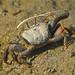 Male fiddler crab by Foto Martien