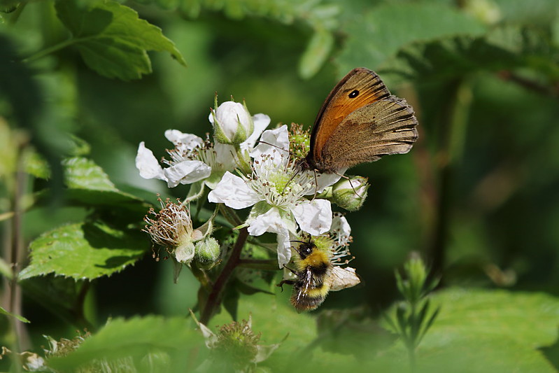 Meadow Brown & Bumble Bee