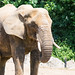 African Elephant at Colchester Zoo