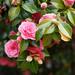 camellias by embem30
