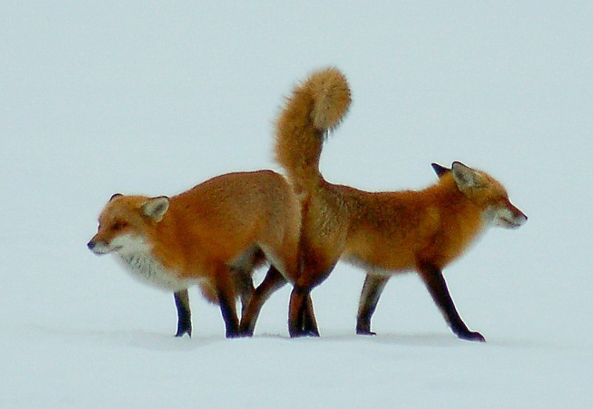 Foxes having sex