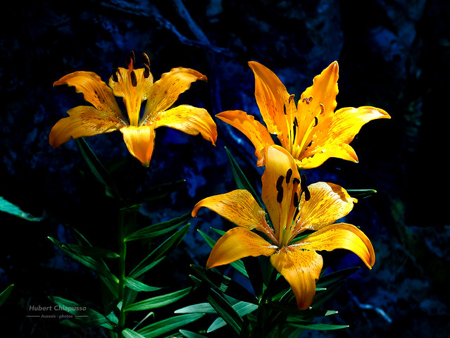Lys orangés