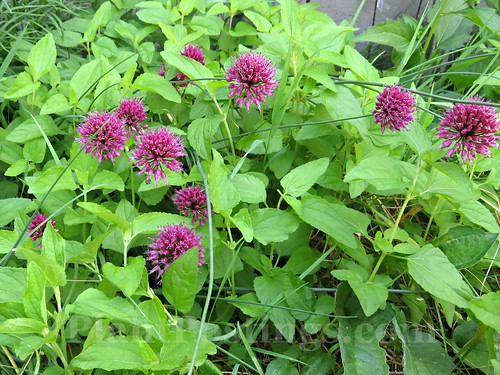alliums and mistflower