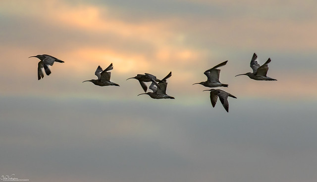 Curlews At Sunset