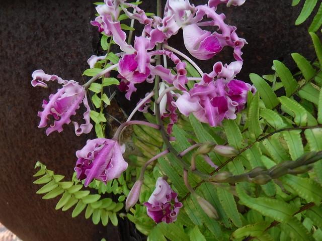 Myrmecophila orchid, Guatemala