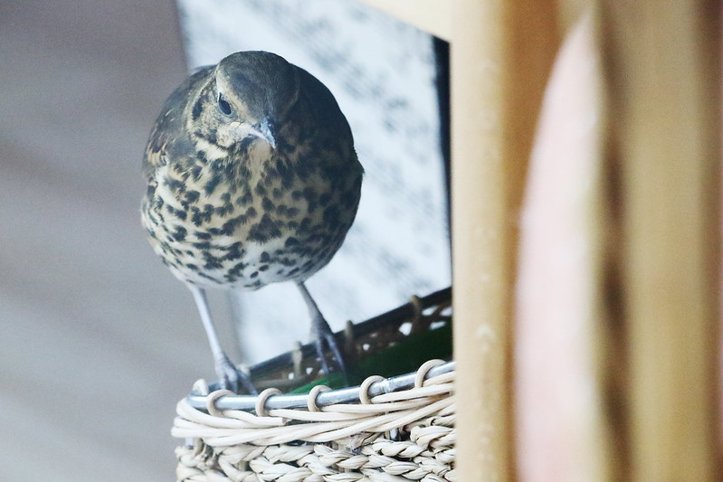 Thrush checking out the magasine rack