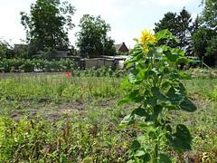 Masny tournesol des jardins ouvriers