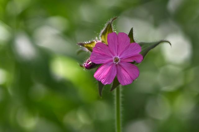 pink pop up, Nikon D7200, AF Micro-Nikkor 105mm f/2.8