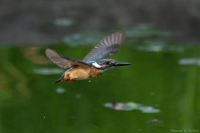 20180713-kingfisher-DSC_5976