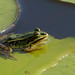 mertlrob posted a photo:	common water frog [Rana kl. esculenta]