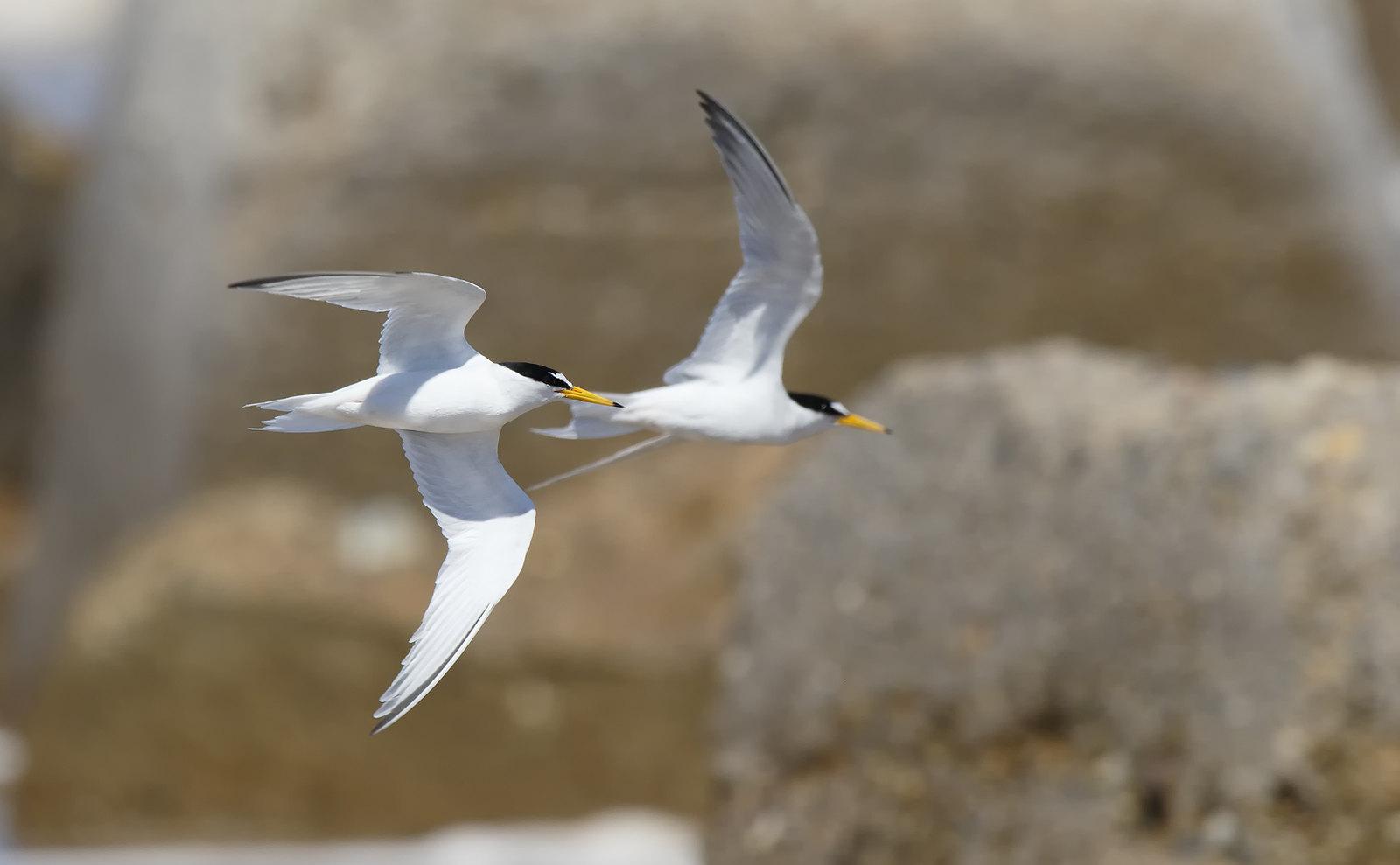 Little Tern/s