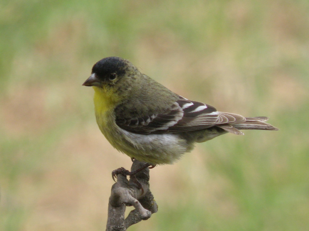P5198993...Lesser Goldfinch