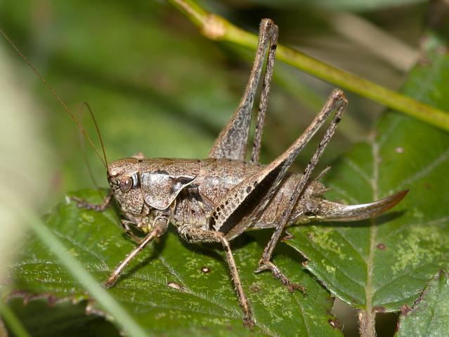 Pholidoptera griseoaptera (Dark bush-cricket)