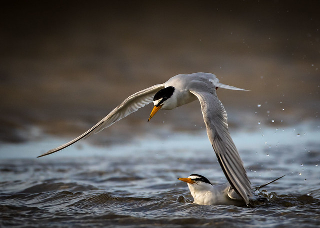 Least Terns, Canon EOS 7D MARK II, Canon EF 500mm f/4L IS