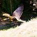 Bird of Prey Colchester Zoo