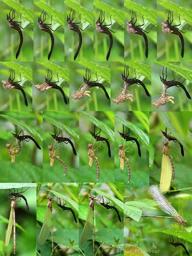 risonthumboor thumboor damselfly vestalisapicalis vestalis emerging