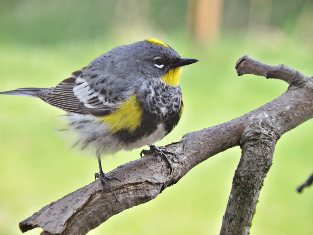 P4177171...yellow-rumped warbler