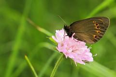 Mount Dajti National Park - butterfly 9