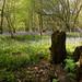 bluebells and stump