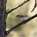 Yellow-browed Warbler Kenshangel (4)