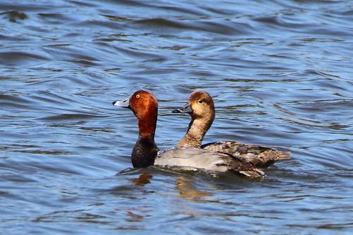 redhead duck redheadduck mckenziemarsh