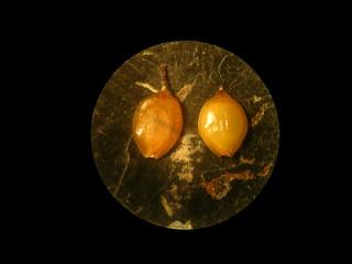 Cyperus laevigatus fruit NC2