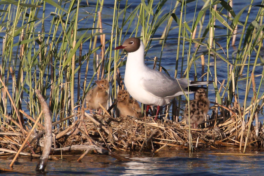 Black-headed Gull with nestlings