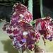 象耳蘭 Phalaenopsis gigantea 'Jumbo Orchids'  [香港蘭花節 Hong Kong Orchid Festival]