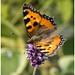 Small Tortoiseshell Butterfly. (1)