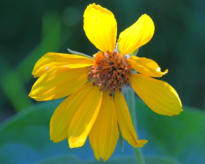 IMG_6178 Arrowleaf Balsamroot (Balsamorhiza sagittata)