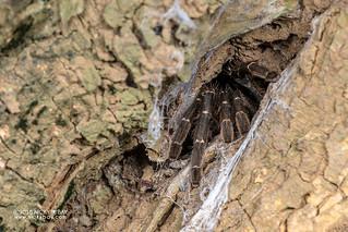 Tarantula (Theraphosidae) - DSC_6131