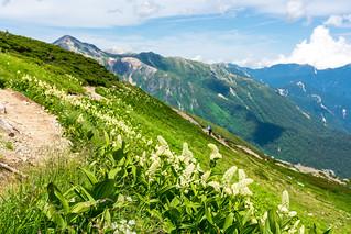 山道に咲くコバイケイソウ
