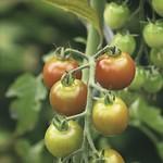 garden tomatoes bokeh